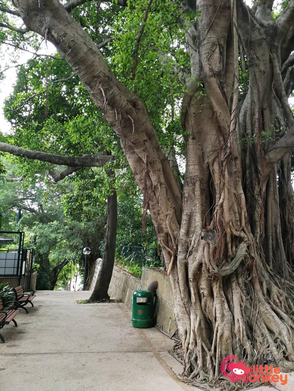 Kowloon Park's banyan trees