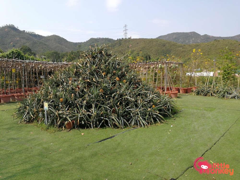 Tai Tong Organic EcoPark Pineapple Field