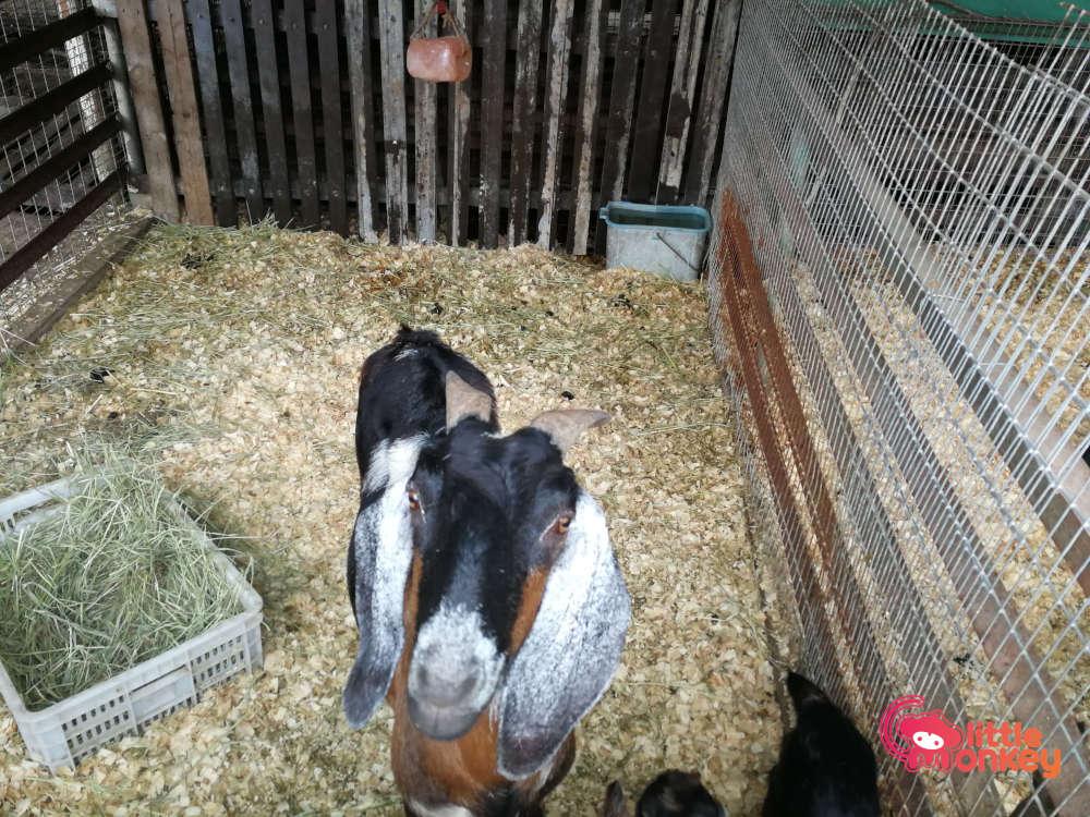 Tai Tong Organic EcoPark's Goats